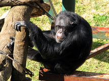 Vecchio scimpanzè triste Fotografie Stock