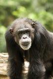 Vecchio scimpanzé Fotografia Stock Libera da Diritti