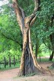 Vecchio tronco al tempio di Banteay Srei Fotografia Stock