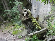 Vecchio tronco bizzarro nella foresta fotografie stock libere da diritti