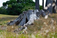 Vecchio tronco di albero tagliato su un campo erboso Fotografie Stock Libere da Diritti