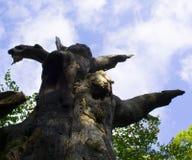 Vecchio tronco di quercia Immagini Stock