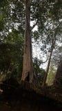 Vecchio tronco e tempio antico a Kor Ker 7 Fotografia Stock Libera da Diritti