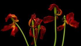 Vecchio tulipano secco Fotografia Stock Libera da Diritti