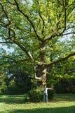 Vecchio un lat degli alberi piani o del sicomoro enorme Platanus dal palazzo di Vorontsov del parco in Alupka immagine stock libera da diritti