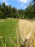 Vecchio villaggio con il grano Fotografia Stock Libera da Diritti