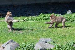Vechten twee het Japanse Macaque over een Stok. Royalty-vrije Stock Afbeeldingen