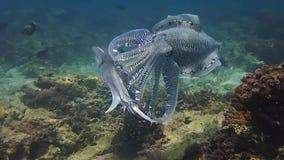 Vechtende en koppelende Faraoinktvis in Oman stock videobeelden