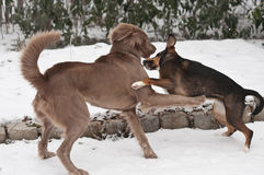 Vechtende honden Royalty-vrije Stock Fotografie