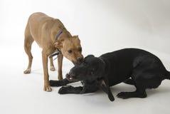 vechtende honden stock afbeeldingen