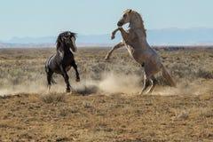 Vechtende Mustangs stock foto