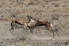 Vechtende Springbok Royalty-vrije Stock Afbeeldingen