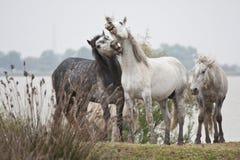 Vechtende wild paarden Royalty-vrije Stock Afbeeldingen