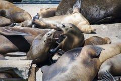 Vechtende zeeleeuw Stock Afbeelding
