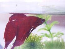 Vechter-Fish#3 royalty-vrije stock foto's