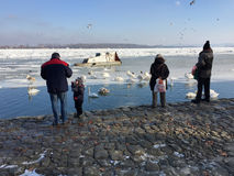Vecinos del ` s de Zemun que alimentan cisnes en el Danubio congelado Foto de archivo