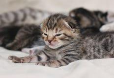2 vecka att sova behandla som ett barn kattungeståenden Arkivbild