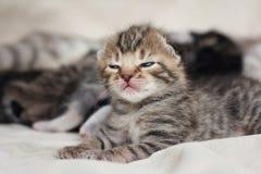 2 vecka att sova behandla som ett barn kattungeståenden Royaltyfri Bild