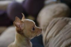 8 vecka gammal manlig chihuahuavalp som sitter på soffan royaltyfri bild