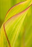 veckla ut för leaffjäder Royaltyfri Foto