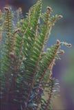Veckla ut för ormbunkar Arkivbild