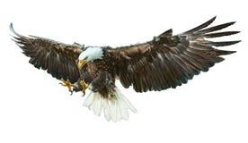 Vecteur à ailes d'aigle chauve illustration stock