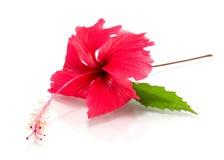 vecteur abstrait d'illustration de ketmie de fleur Photographie stock libre de droits