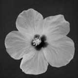 vecteur abstrait d'illustration de ketmie de fleur Image stock
