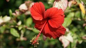vecteur abstrait d'illustration de ketmie de fleur Photos libres de droits