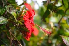 vecteur abstrait d'illustration de ketmie de fleur Photographie stock