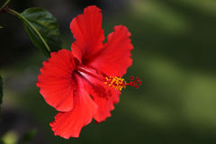 vecteur abstrait d'illustration de ketmie de fleur Images libres de droits