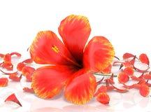 vecteur abstrait d'illustration de ketmie de fleur illustration stock