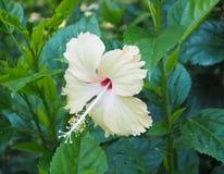vecteur abstrait d'illustration de ketmie de fleur Photo stock