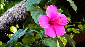 la fleur rose de ketmie avec le vert laisse l'étamine jaune clips