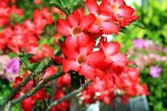 vecteur abstrait d'illustration de ketmie de fleur Les fleurs exotiques rouges lumineuses ont fleuri dans le jardin tropical photos stock