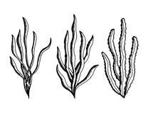 Vecteur comestible de croquis d'algues mauvaises herbes sous-marines marines d'usines illustration libre de droits