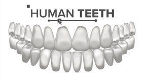 Vecteur d'anatomie de bouche de dent Dents humaines Dents blanches saines Concept médical d'art dentaire réaliste 3D d'isolement illustration libre de droits