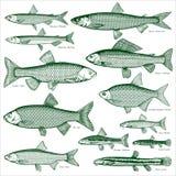 Vecteur d'eau douce 3 de poissons Image stock
