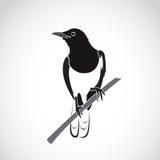 Vecteur d'oiseau sur le fond blanc Merle oriental de pie illustration libre de droits