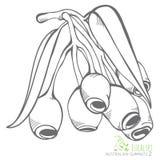 Vecteur de branches et de feuilles de Gumnuts d'eucalyptus illustration libre de droits