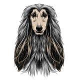 Vecteur de croquis de lévrier afghan de race de plein-visage de tête de chien Photographie stock