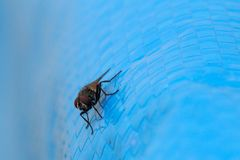Vecteur de maladies de Muscidae de Domestica de Musca Photographie stock