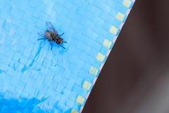 Vecteur de maladies de Muscidae de Domestica de Musca Photographie stock libre de droits