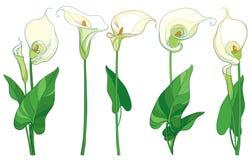 Vecteur réglé avec la fleur ou le Zantedeschia de zantedeschia, bourgeon et feuilles dans la couleur en pastel d'isolement sur le Images stock