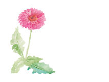 Vecteur rose d'aquarelle de fleur de gerbera Photos libres de droits