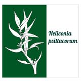 Vectonic white flower of a tropical plant Heliconia psittacorum vector illustration