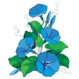 Vector букет с колокол цветком славы ипомея или утра плана в пастельных голубых, зеленых лист и бутоне изолированных на белой пре Стоковые Изображения RF