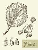 Vector изображение листьев, цветков и плодоовощей бука иллюстрация вектора