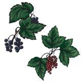 Vector иллюстрация красного цвета и черной смородины на белом backgr бесплатная иллюстрация