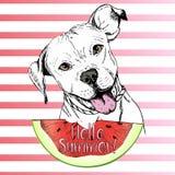 Vector иллюстрация нарисованная рукой английской собаки pitbull есть кусок арбуза Здравствуйте! лето Стоковые Фотографии RF
